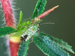 Der Kriechende Hauhechel oder Ononis repens ist eine Wirtspflanze der Weichwanze, die seinen Pflanzensaft aussaugt oder gelegentlich auch Insekten, die an den Drüsenhaaren des Hauhechels kleben. © Ekkehard Wachmann