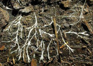 Die Ausläufer von Pilzen, die sogenannten Hyphen, dienen Bakterien als Autobahn. © TheAlphaWolf. Wikimedia Commons.